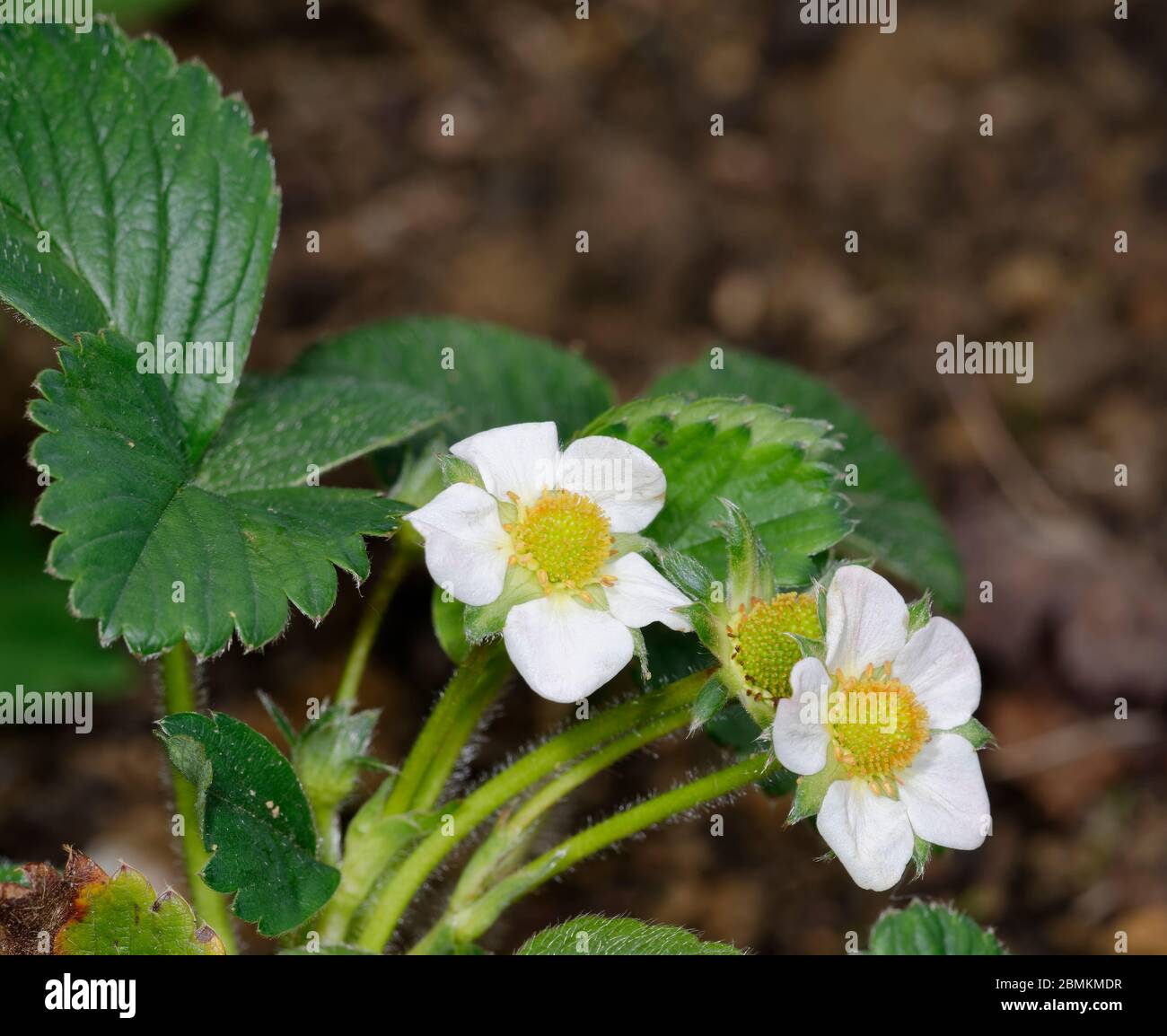 Garden Strawberry  - Fragaria  X ananassa Two flowers Stock Photo