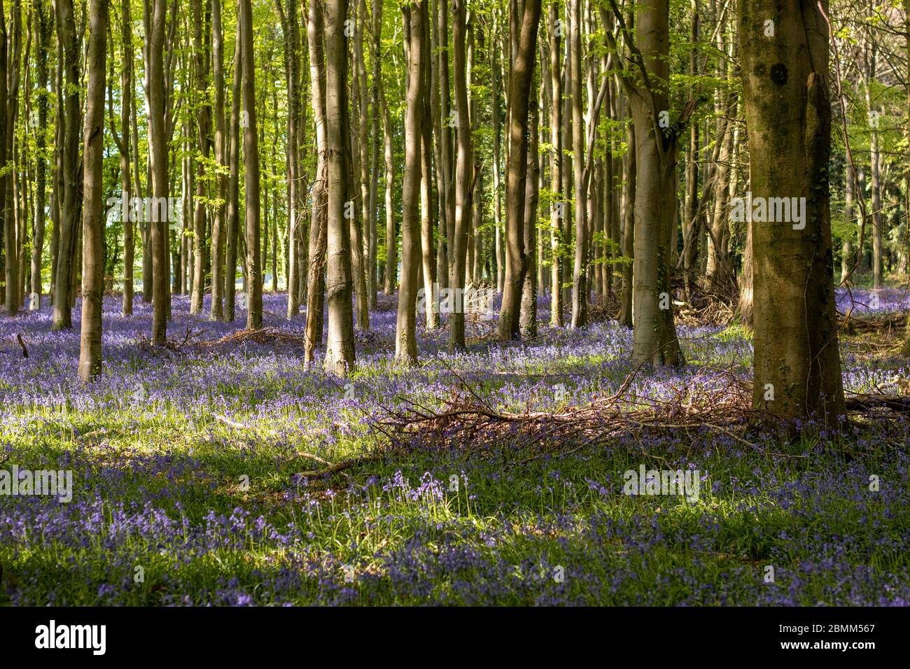 A beautiful carpet of vibrant bluebells with light casting shadows and light in an English woodland. Stock Photo