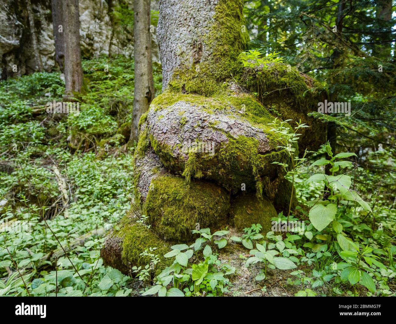 Unusual tree roor trunk in preserved forest resort Golubinjak near Lokve Croatia Europe Stock Photo