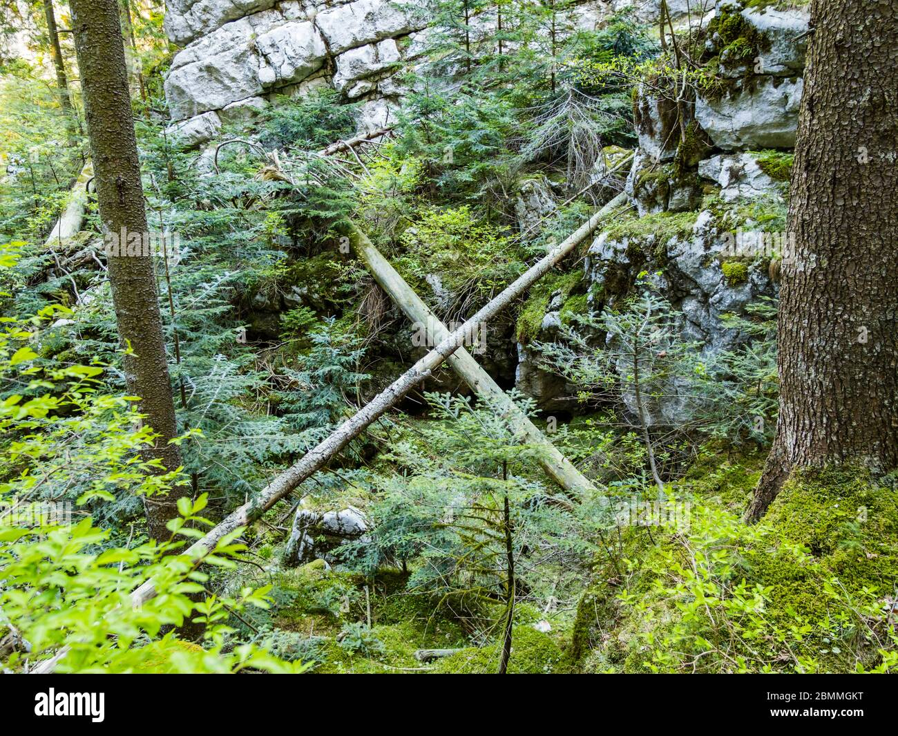 x crossed fallen trees in preserved forest resort Golubinjak near Lokve Croatia Europe Stock Photo