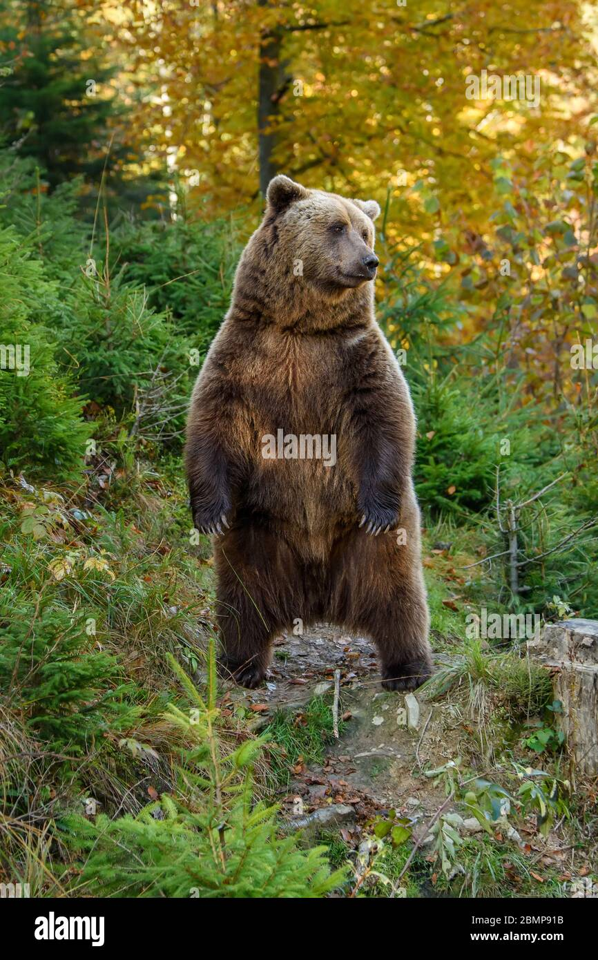 Close up Big brown bear in the forest. Dangerous animal in natural habitat. Wildlife scene Stock Photo