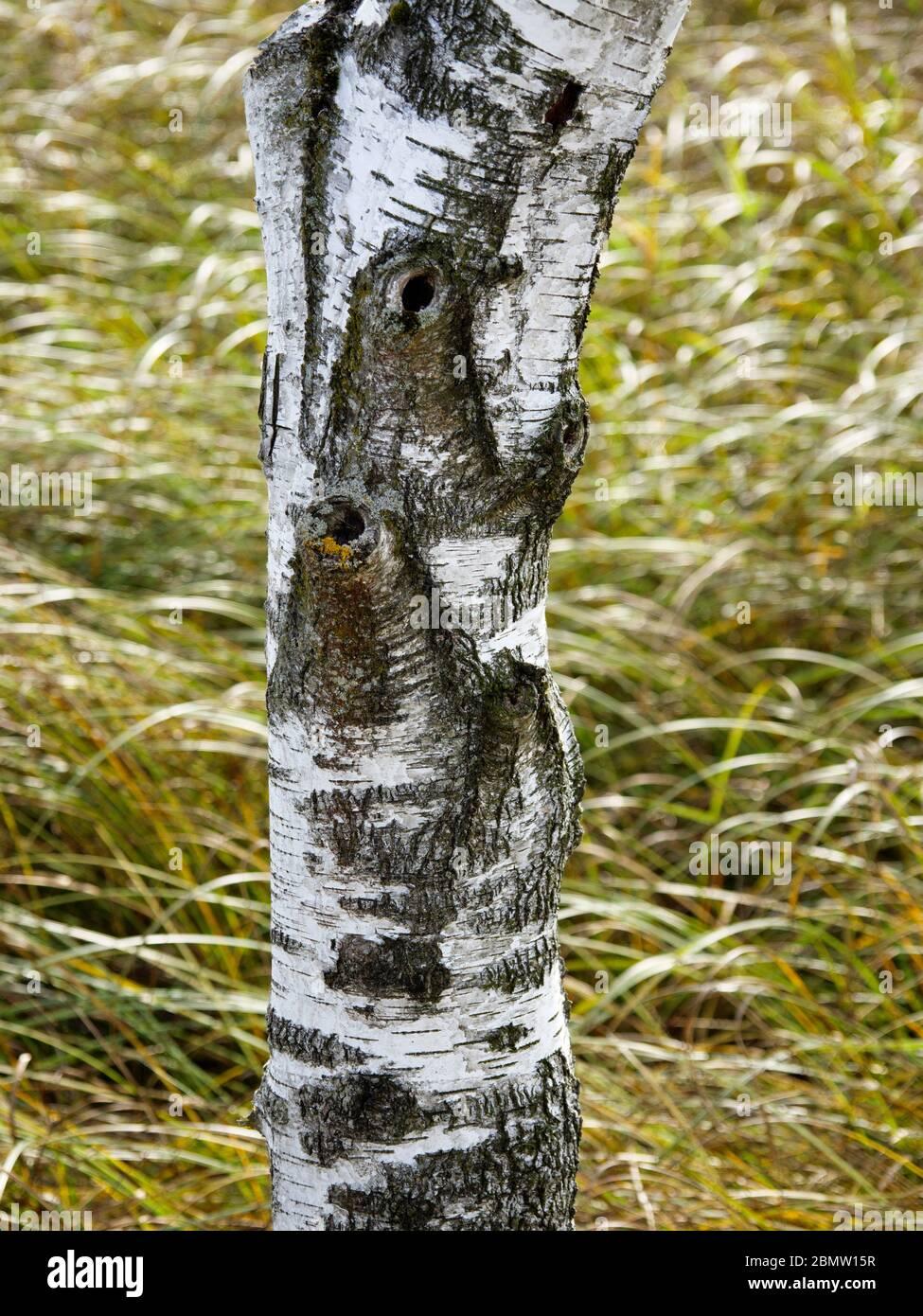 Birkenstamm, Federsee, Naturschutzgebiet, Bad Buchau, Oberschwaben, Baden-Württemberg, Deutschland Stock Photo