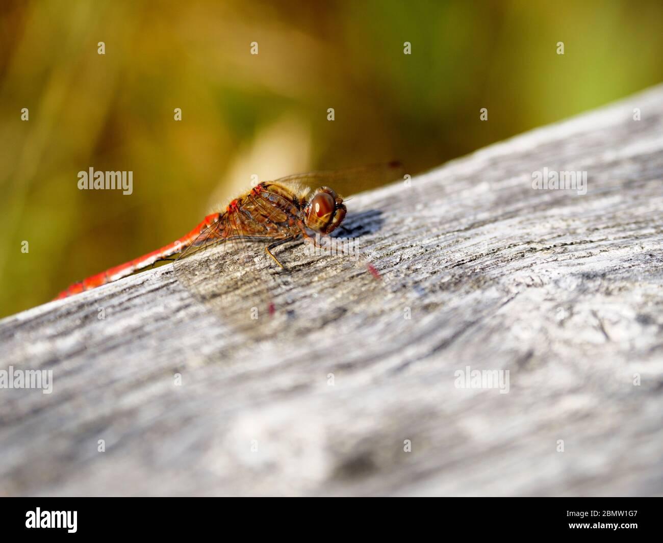 Libelle, Federsee, Naturschutzgebiet, Bad Buchau, Oberschwaben, Baden-Württemberg, Deutschland Stock Photo