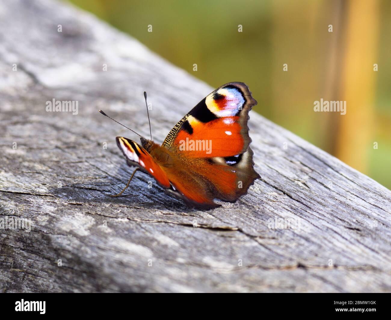 Schmetterling, Federsee, Naturschutzgebiet, Bad Buchau, Oberschwaben, Baden-Württemberg, Deutschland Stock Photo