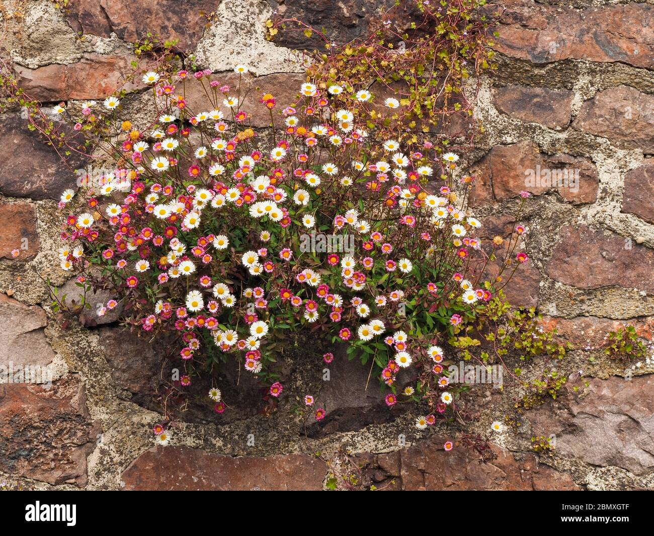 Mexican fleabane Erigeron karvinskianus flourishing in cracks in a garden wall in Somerset UK Stock Photo