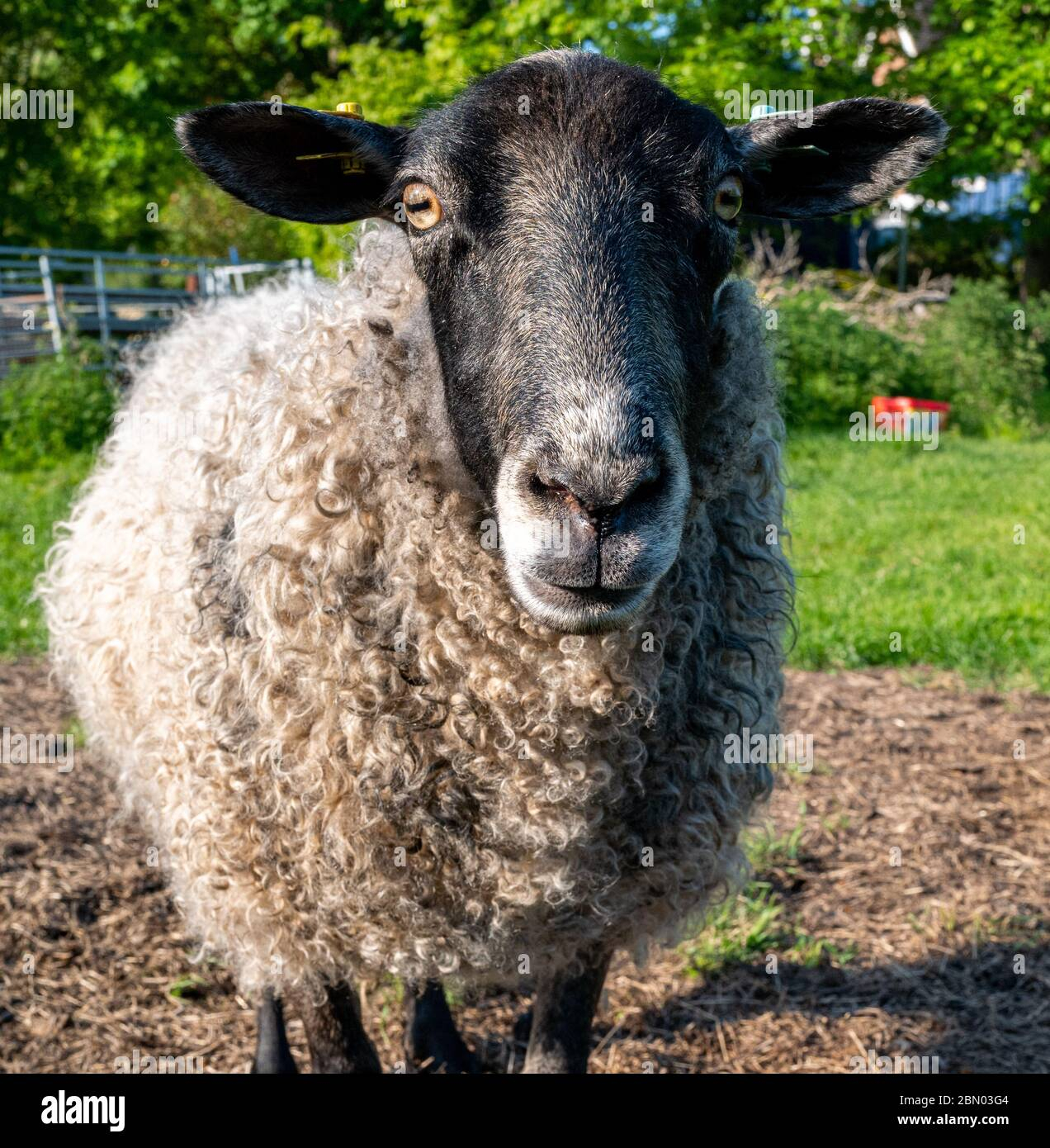 Close up of Gotland ewe sheep looking at camera  in field in  Stanley Pontlarge, Cotswolds. Stock Photo