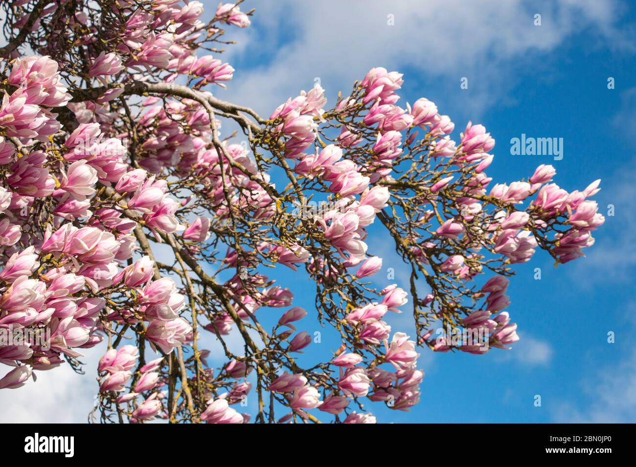 Magnolia tree in pink Flowers, Magnolioideae of the family Magnoliaceae, Stratford upon Avon England UK Stock Photo