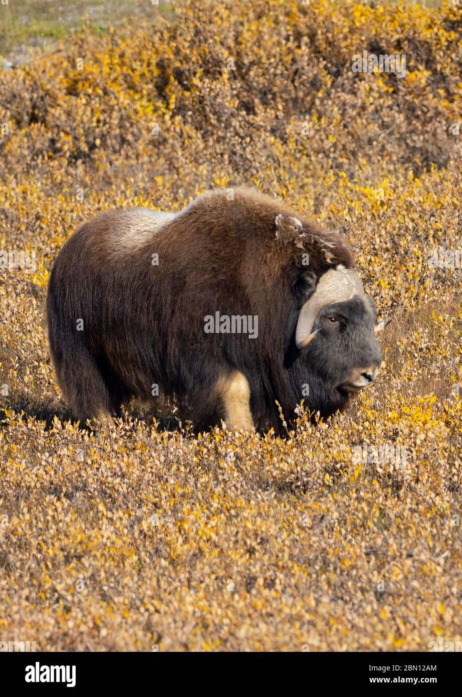 Musk Ox, Autumn, Brooks Range, Arctic Alaska. Stock Photo