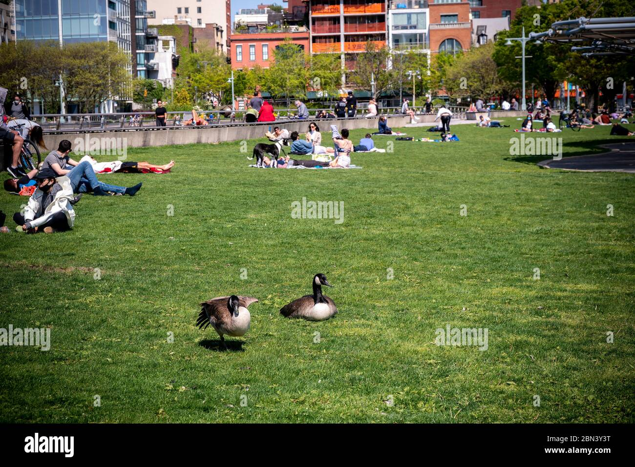 Even Canadian Geese are social distancing as they flock to Hudson River Park in New York on a warm Sunday, May 10, 2020. (© Richard B. Levine) Stock Photo
