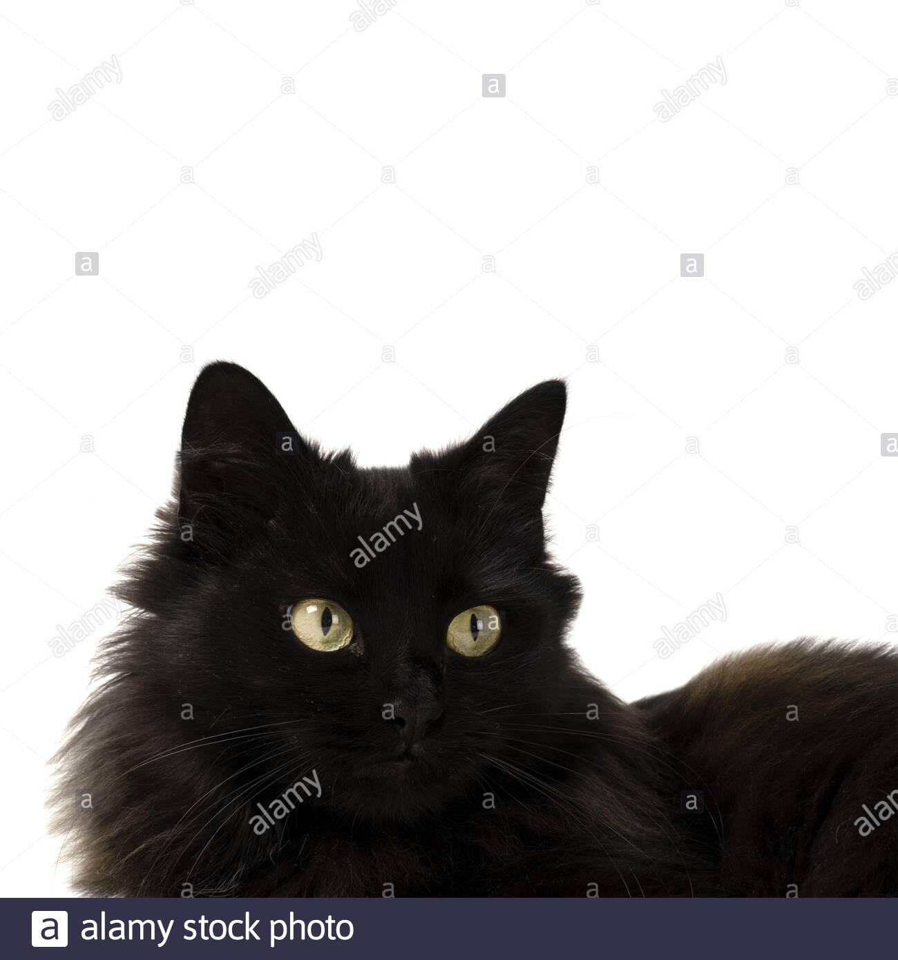 Black Cat With Yellow Eyes On A White Background Cropped Image Stock Photo Alamy