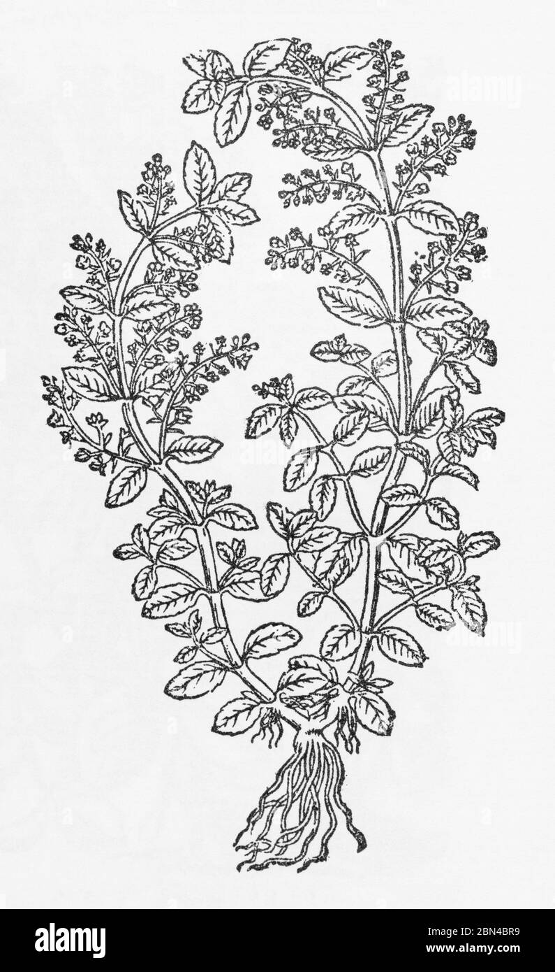 Brooklime / Veronica beccabunga plant woodcut from Gerarde's Herball, History of Plants. Brooklime a Vitamin C rich medicinal herb. P496 Stock Photo