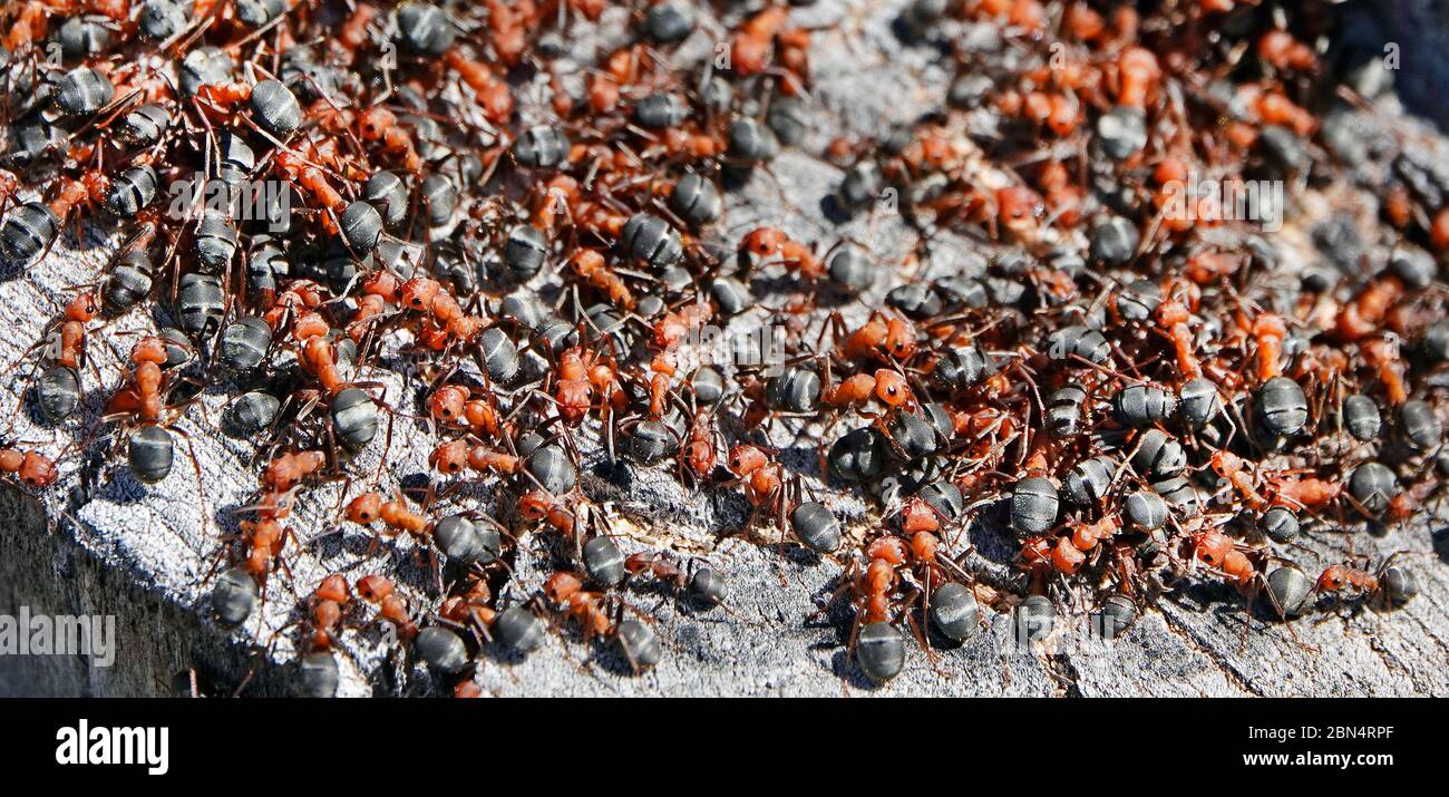 A swarm of Western Thatching ants, also called Formica ants,  Formica obscuripes, in their nest in a rotting aspen stump in central Oregon. Stock Photo