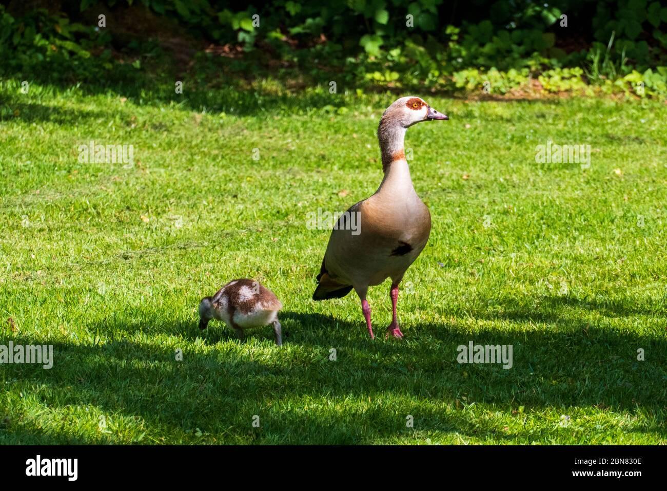 Junge Nilgänse Küken mit ihrer Mutter auf einer Wiese Stock Photo