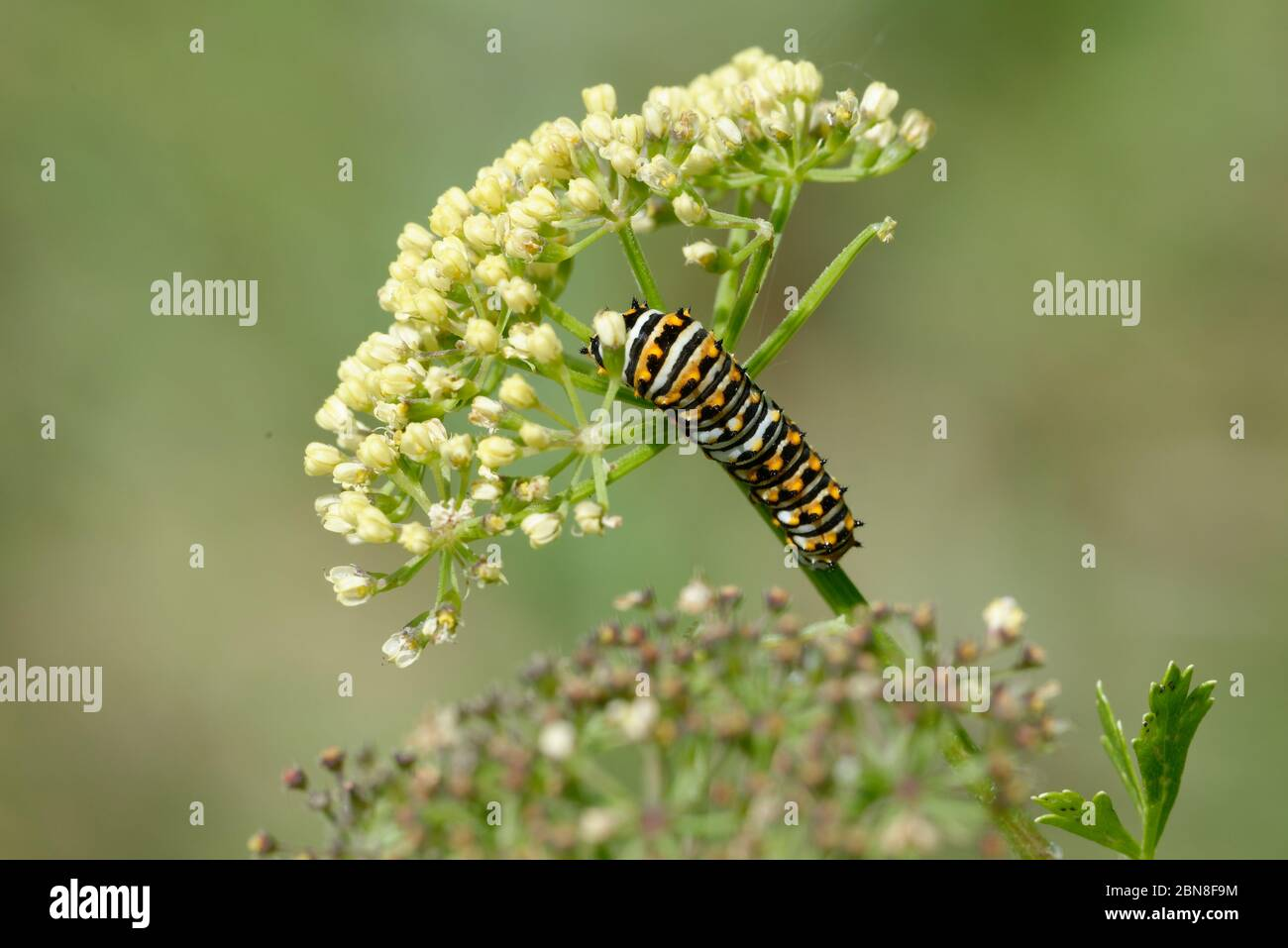 Black swallowtail caterpillar Stock Photo