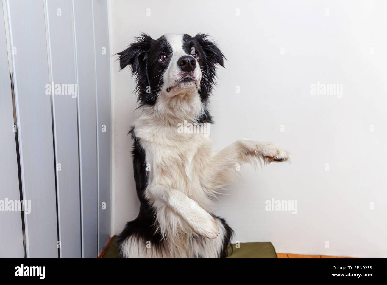 Funny Portrait Of Cute Smiling Puppy Dog Border Collie Indoor New Lovely Member Of Family Little Dog At Home Gazing And Waiting For Reward Funny Pets Animals Life Concept Stock Photo