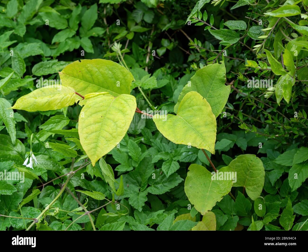 Japanese knotweed, invasive plant aka Reynoutria japonica, Fallopia japonica and Polygonum cuspidatum. UK. Spring shoots. Stock Photo