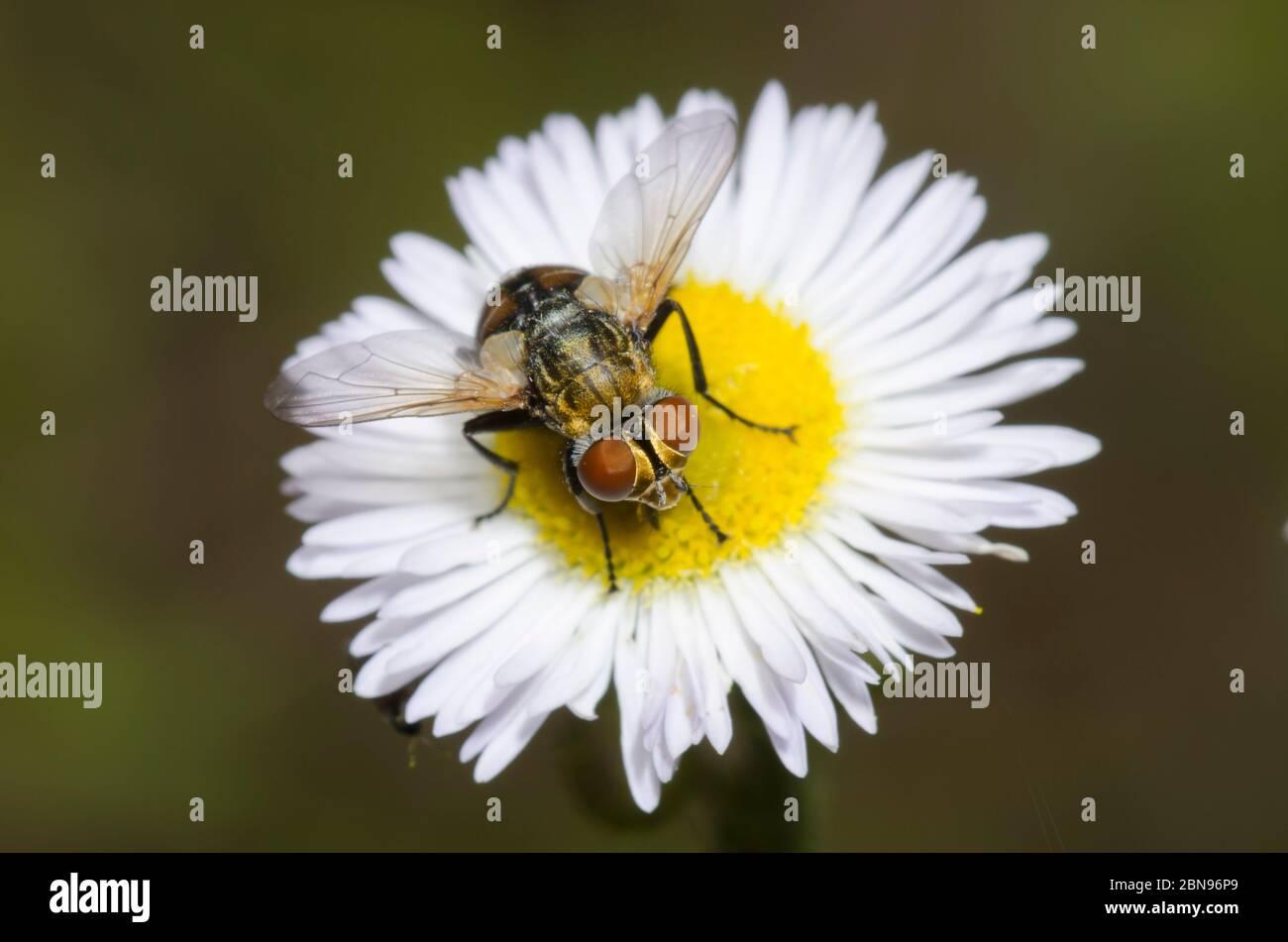 Tachinid Fly, Gymnoclytia sp., foraging on Fleabane, Erigeron sp. Stock Photo
