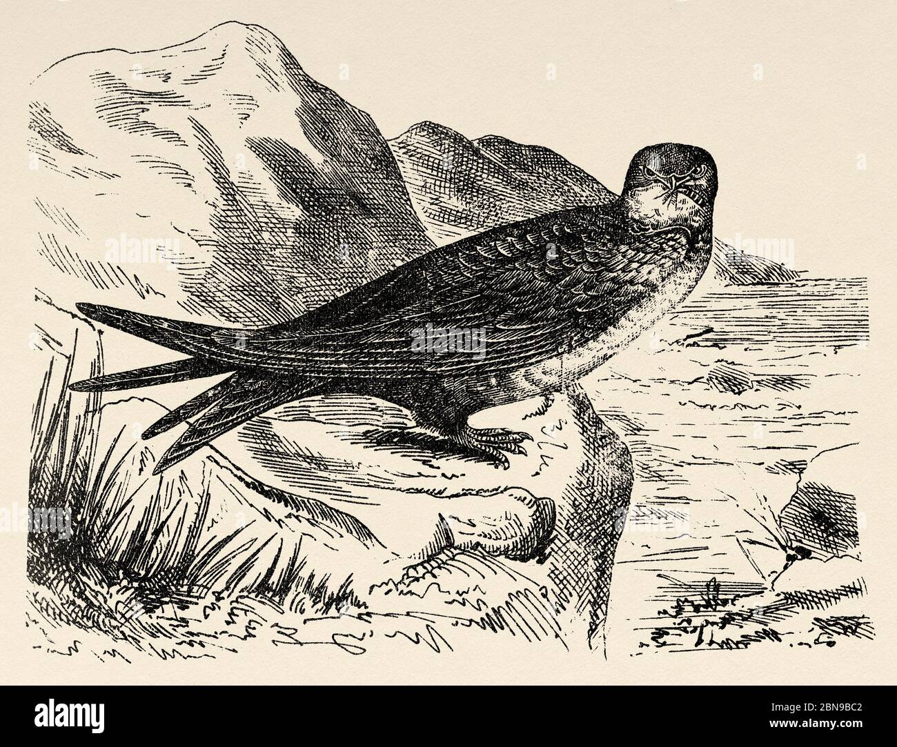 The common swift (Tachymarptis melba) species of apodiform bird of the Apodidae family typical of southern Eurasia and Africa. Old engraved animal illustration 19th century Stock Photo