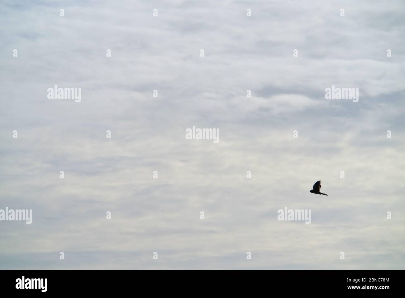Kestel,Falco tinnunculus, hovering. Stock Photo