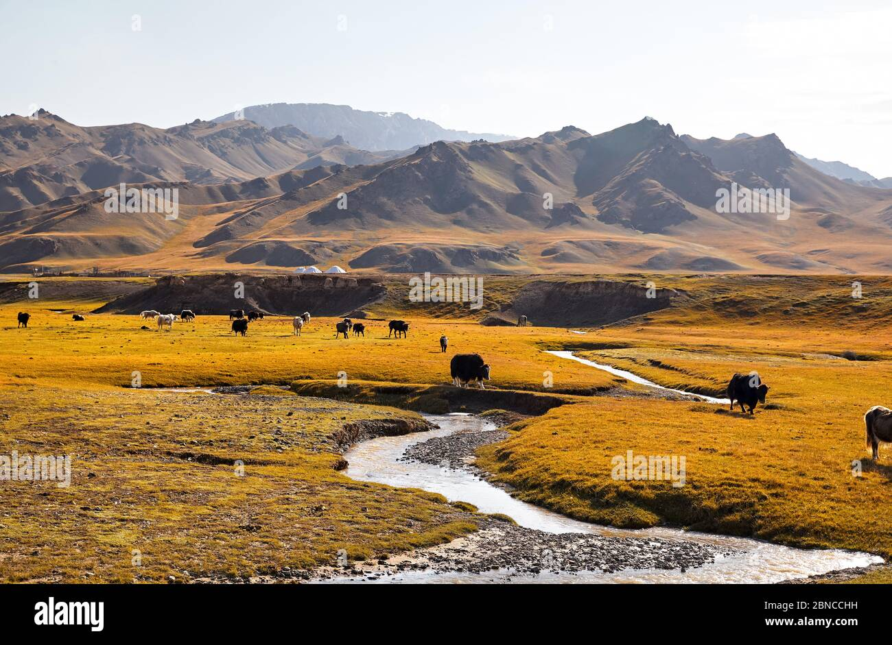 Herd of Yak crossing eating grass near the river in the mountain valley of Kyrgyzstan, Central Asia Stock Photo