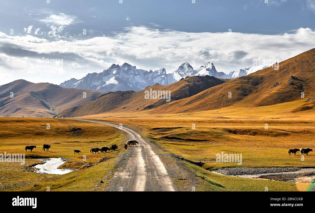 Herd of Yak crossing the road in the mountain valley of Kyrgyzstan, Central Asia Stock Photo