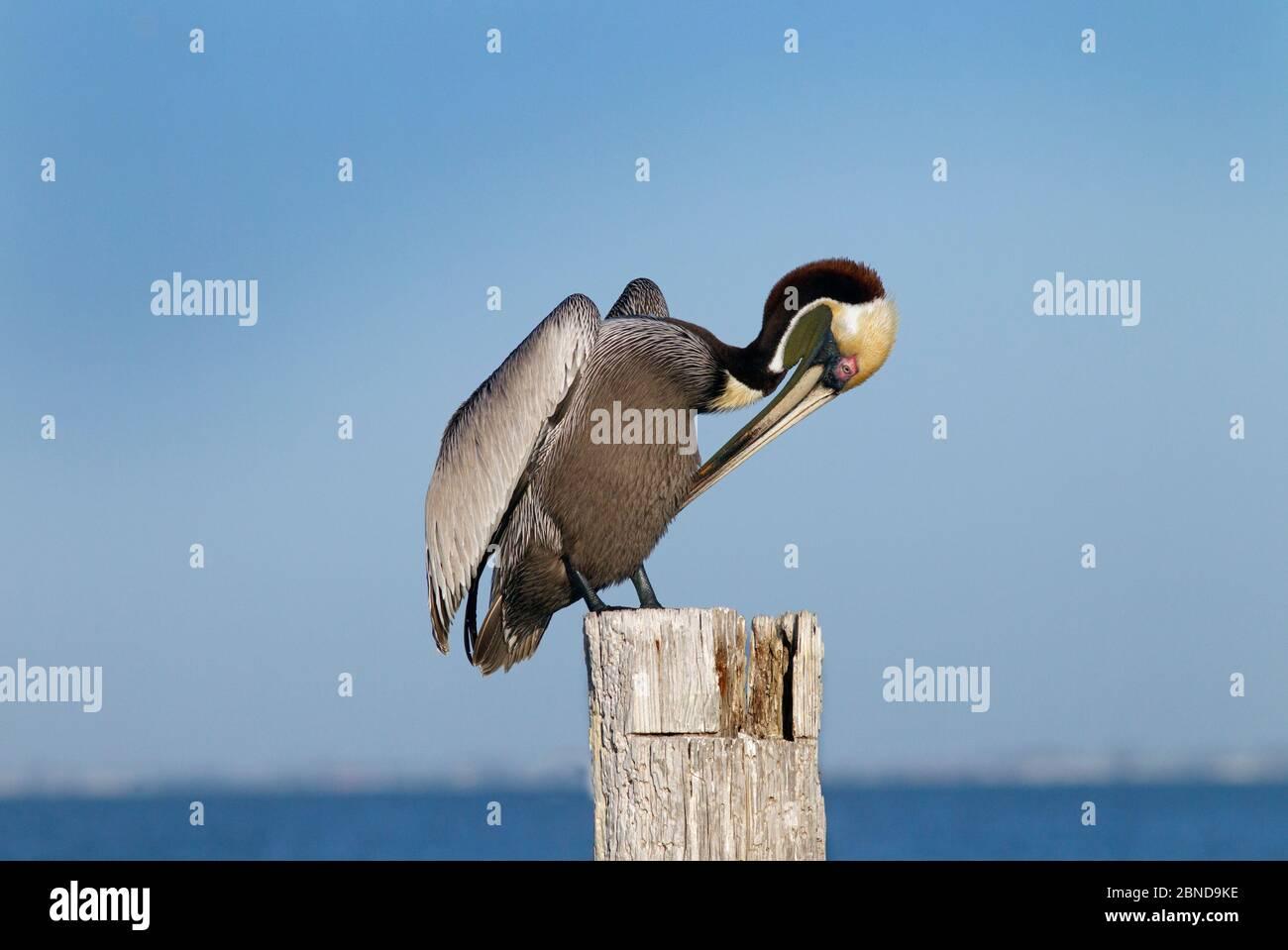 Brown pelican (Pelecanus occidentalis) preening on post, Gulf Coast, Florida, USA, MArch. Stock Photo
