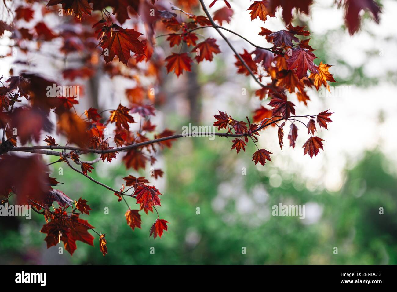Beautiful branches of a Norway maple (Crimson King, Goldsworth Purple) in sunlight.  City background. Stock Photo