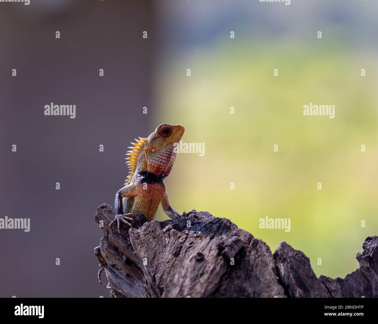 Alert colorful orange and blue crested iguana in profile with head raised against a blurred outdoor background with copy space Stock Photo