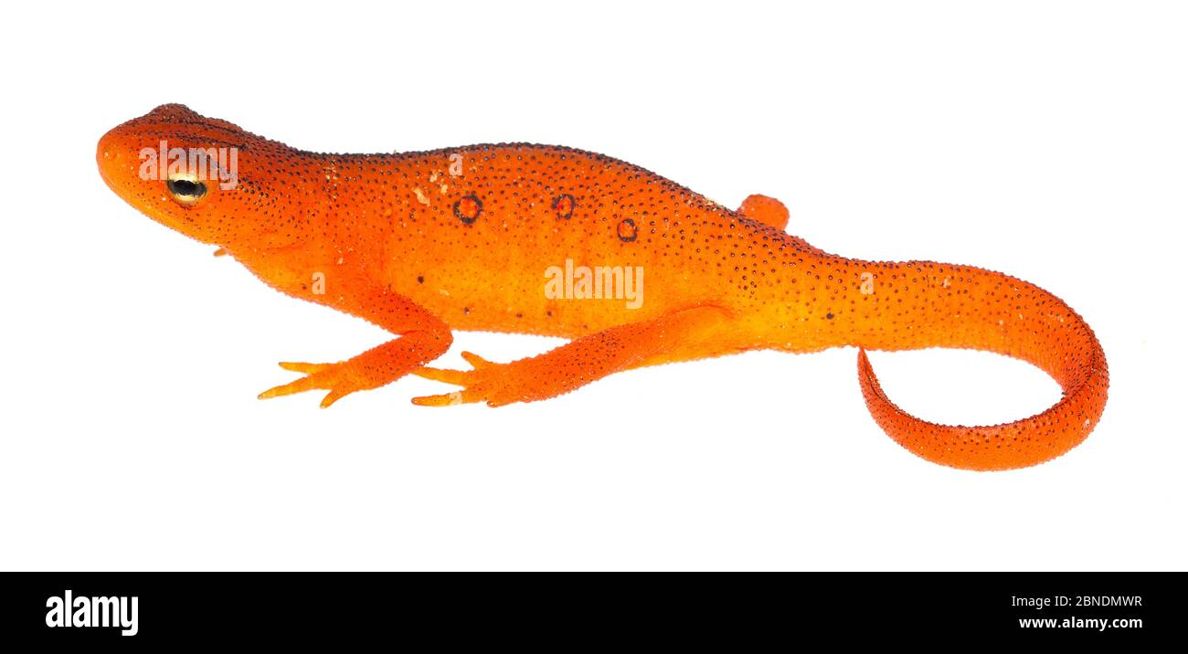 Terrestrial red eft stage of the Eastern Newt (Notophthalmus viridescens) Clark's Creek, Tennessee, USA, May. Meetyourneighbours.net project Stock Photo