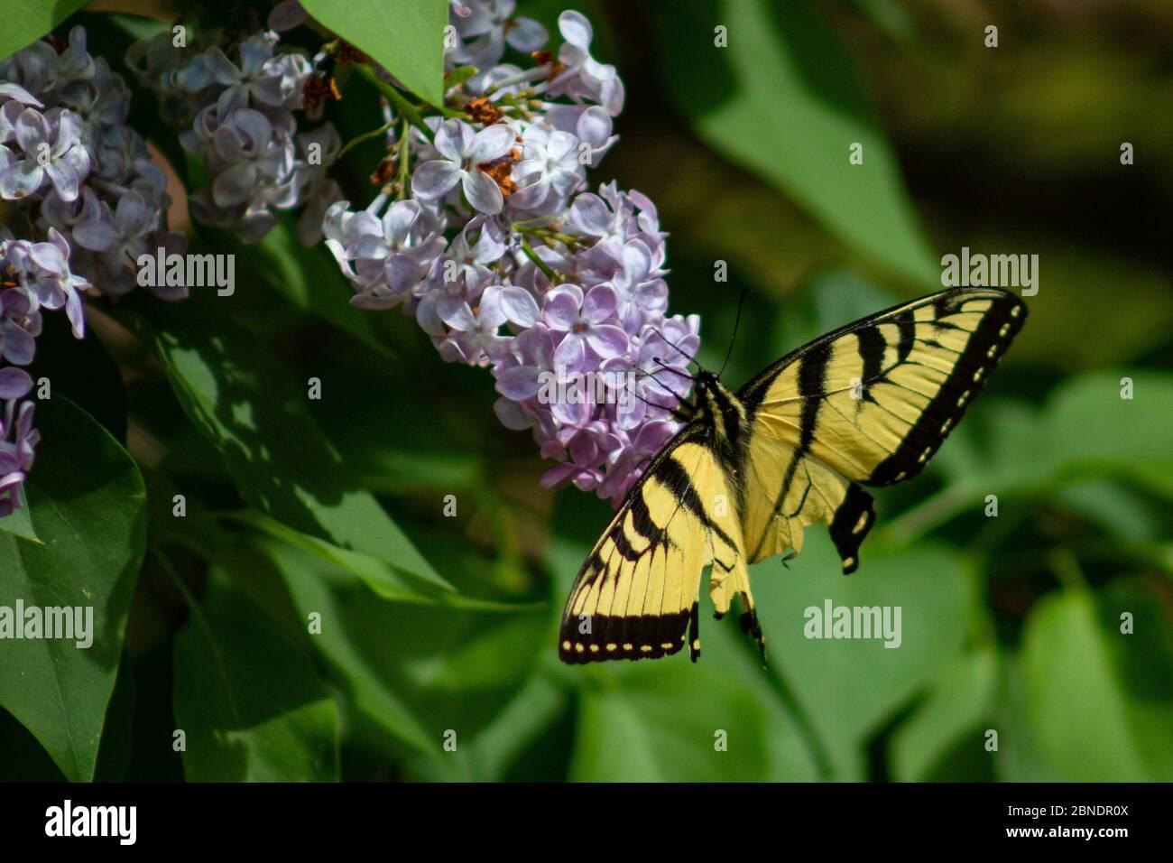 Eastern tiger swallowtail butterfly feeding in backyard Stock Photo