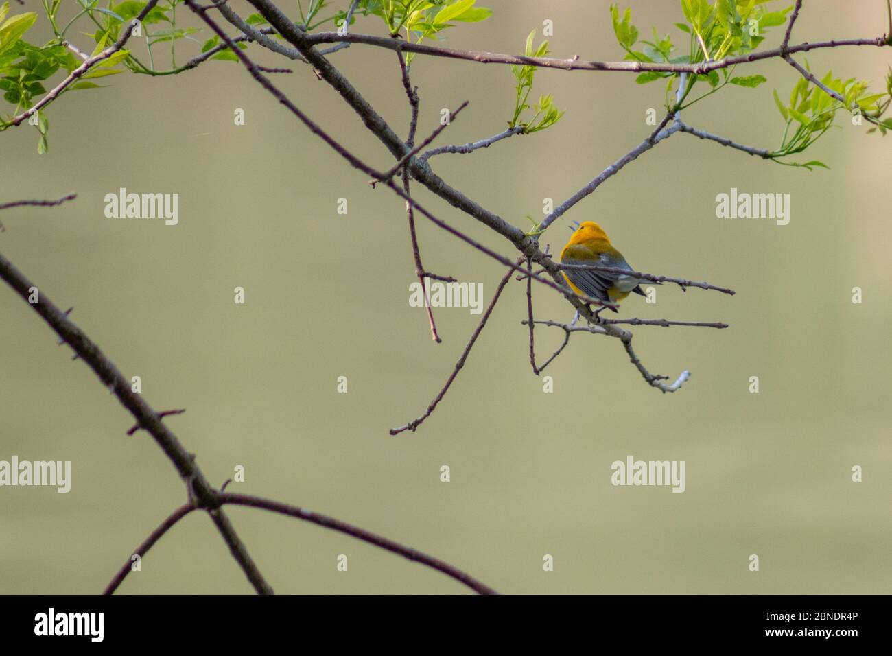 Prothonotary warbler singing in tree at Wildcat Glades in Joplin, Missouri Stock Photo