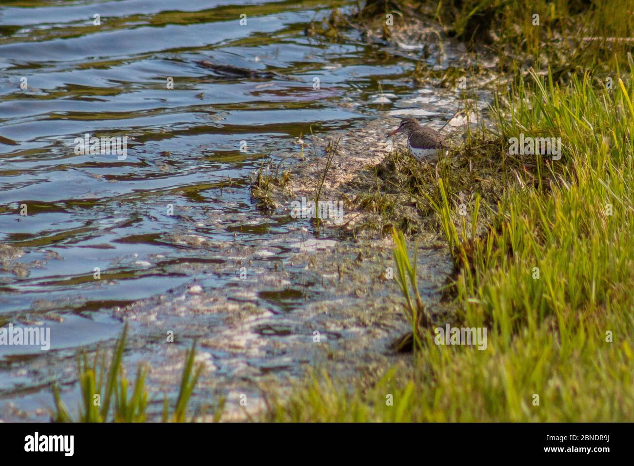 Spotted sandpiper foraging for food at King Jack Park in Webb City, Missouri Stock Photo