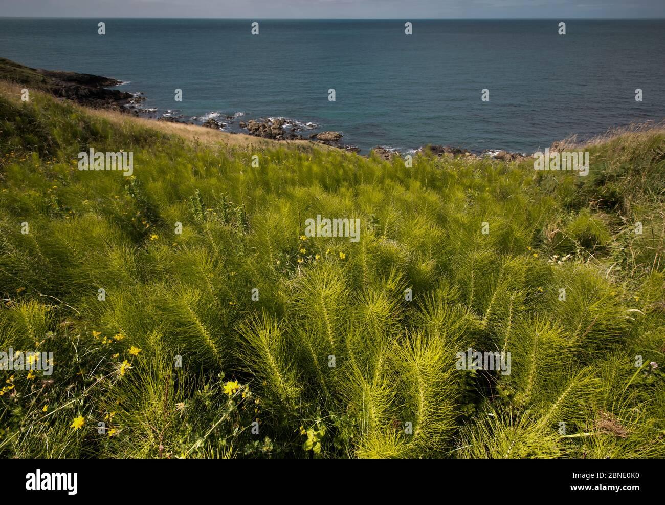 Common Horsetail (Equisetum arvense) growing on the Llyn Peninsular coast, near Nefyn, North Wales Stock Photo