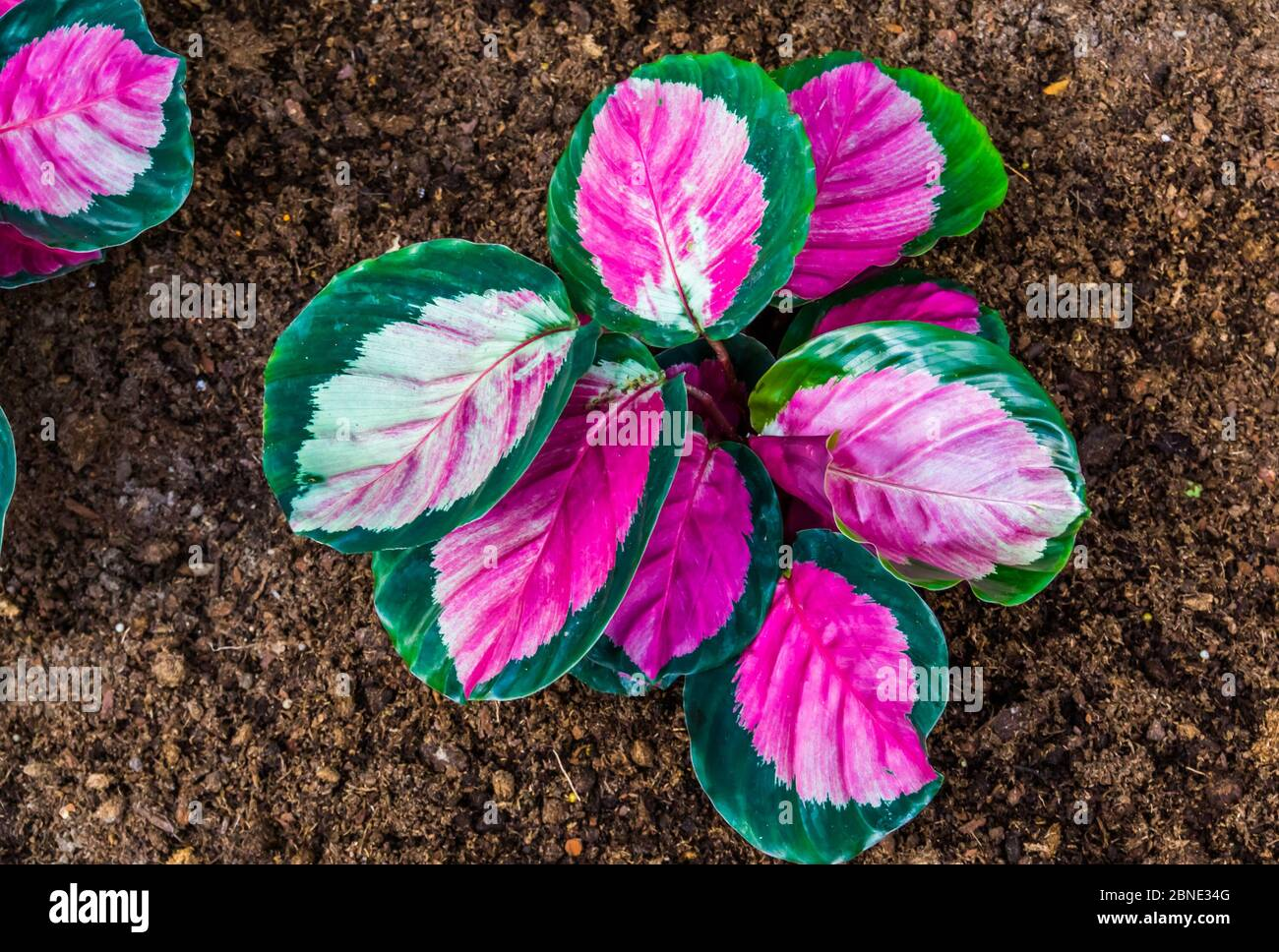 Closeup Of A Pink Elephant Ear Plant Tropical Plant Specie From America Stock Photo Alamy