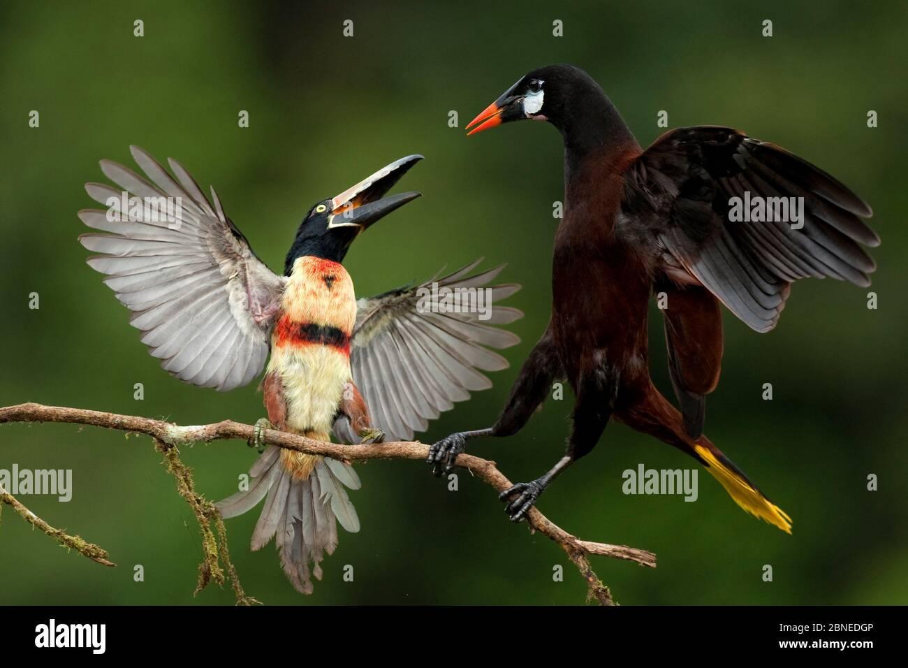 Collared aracari (Pteroglossus torquatus) squabbling with Montezuma oropendola (Psarocolius montezuma) Costa Rica. Stock Photo