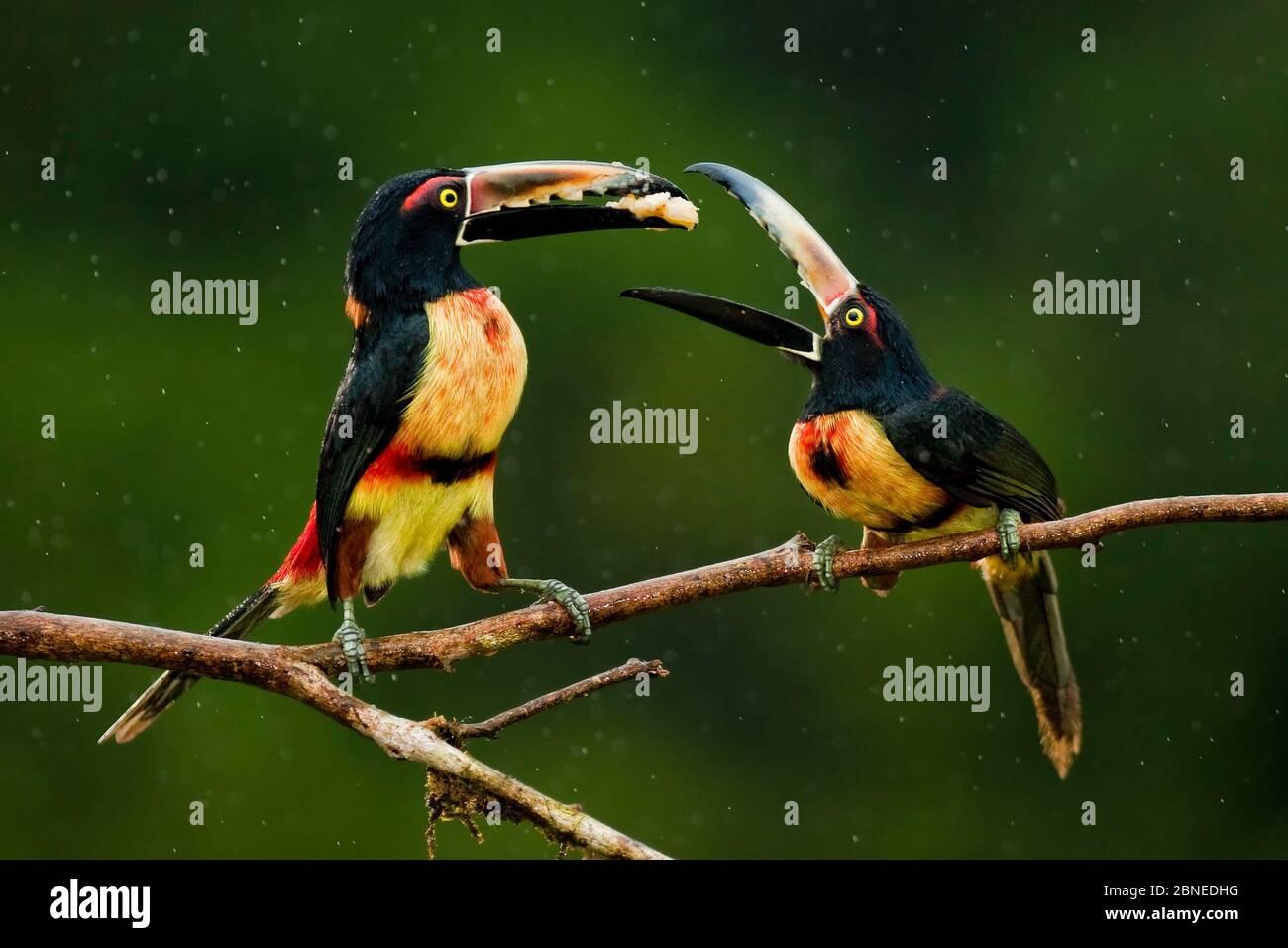 Collared aracari (Pteroglossus torquatus) two perched, possibly courtship feeding, Costa Rica. Stock Photo