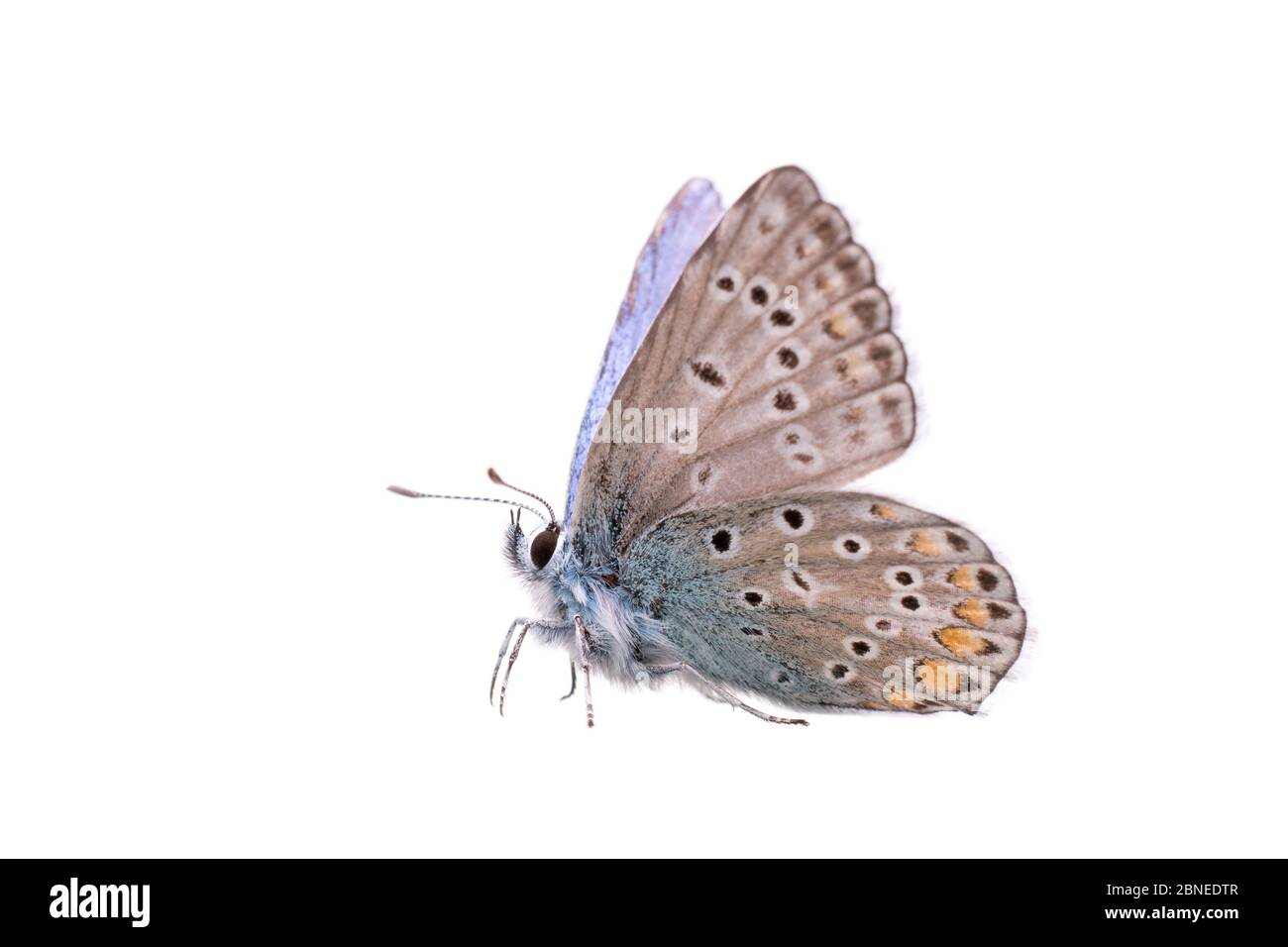 Common blue butterfly (Polyommatus icarus) male, France, May, Meetyourneighbours.net project Stock Photo