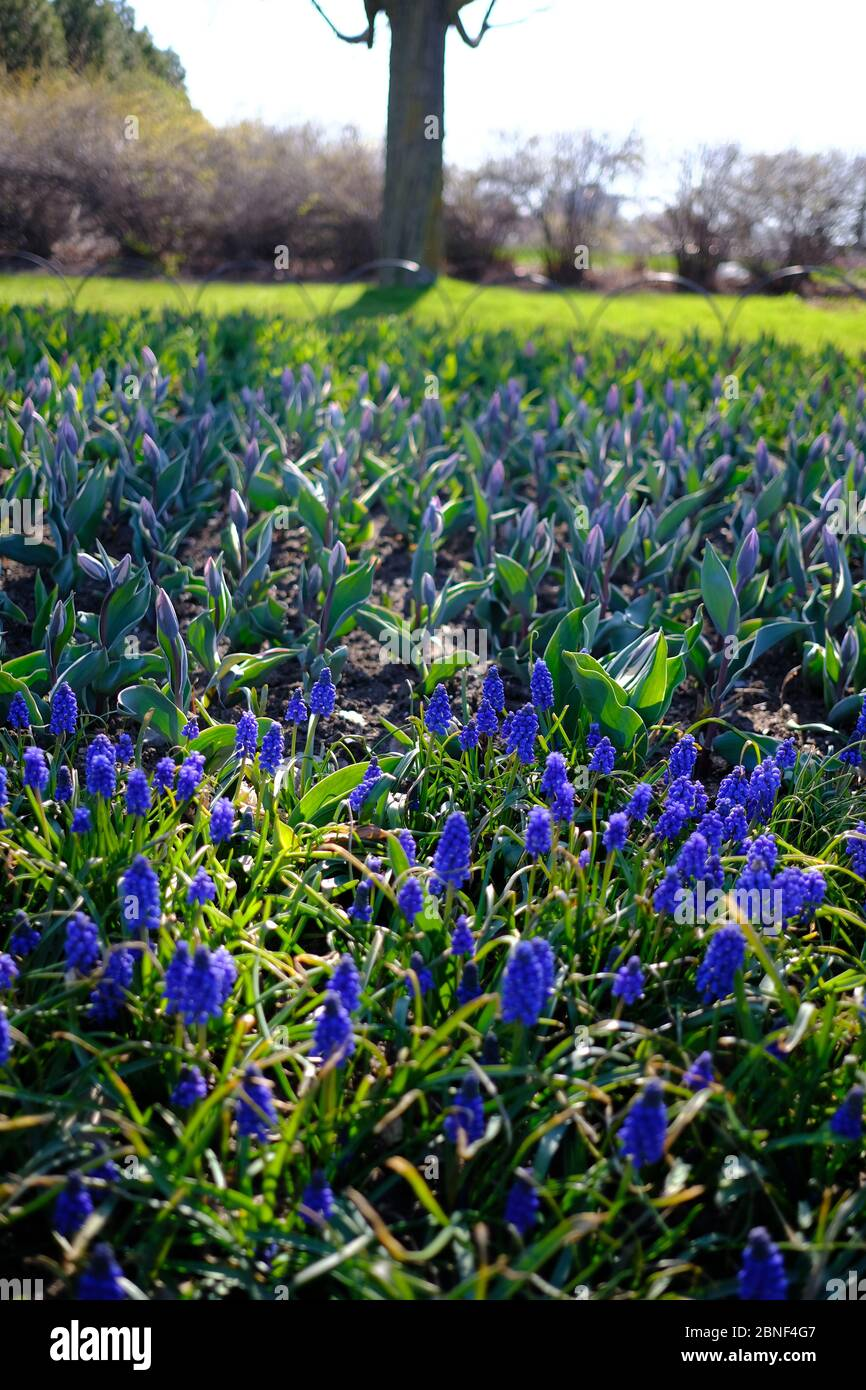 Purple Grape Hyacinth (Muscari latifolium) in front of a bed of tulips at the Canadian Tulip Festival, Ottawa, Ontario, Canada. Stock Photo