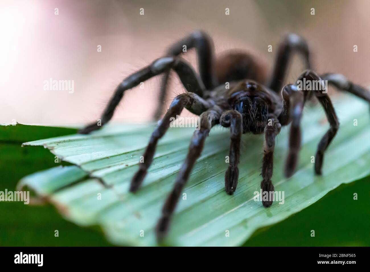 Goliath birdeater tarantula (Theraphosa blondi) in the Peruvian Rainforest of the Amazon River Stock Photo