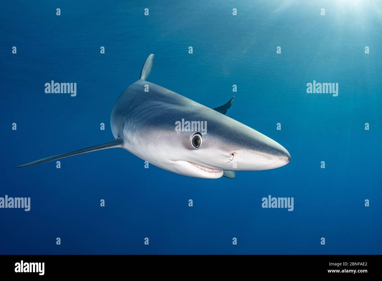 A blue shark just underneath the surface Stock Photo
