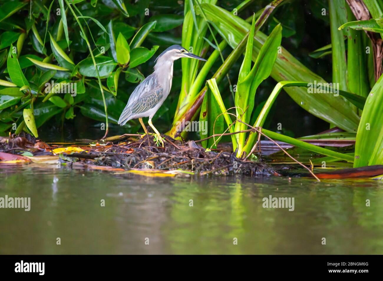 Rheier im Schilf am Fluss auf Sri Lanka Stock Photo