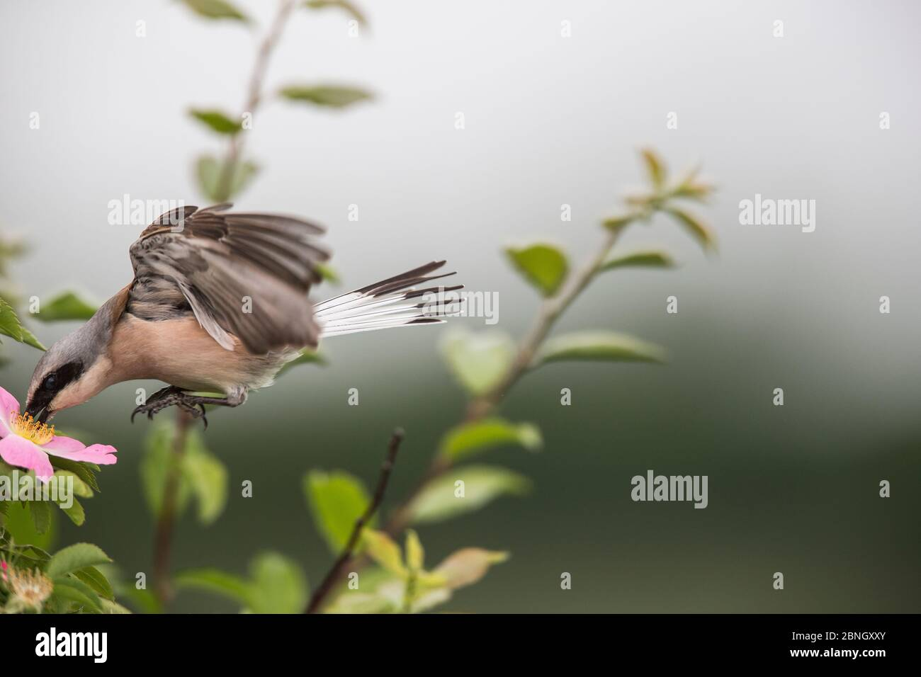 Red-backed shrike (Lanius collurio) adult male taking off,  Lower Saxony, Germany, June. Sequence 3 of 3 Stock Photo