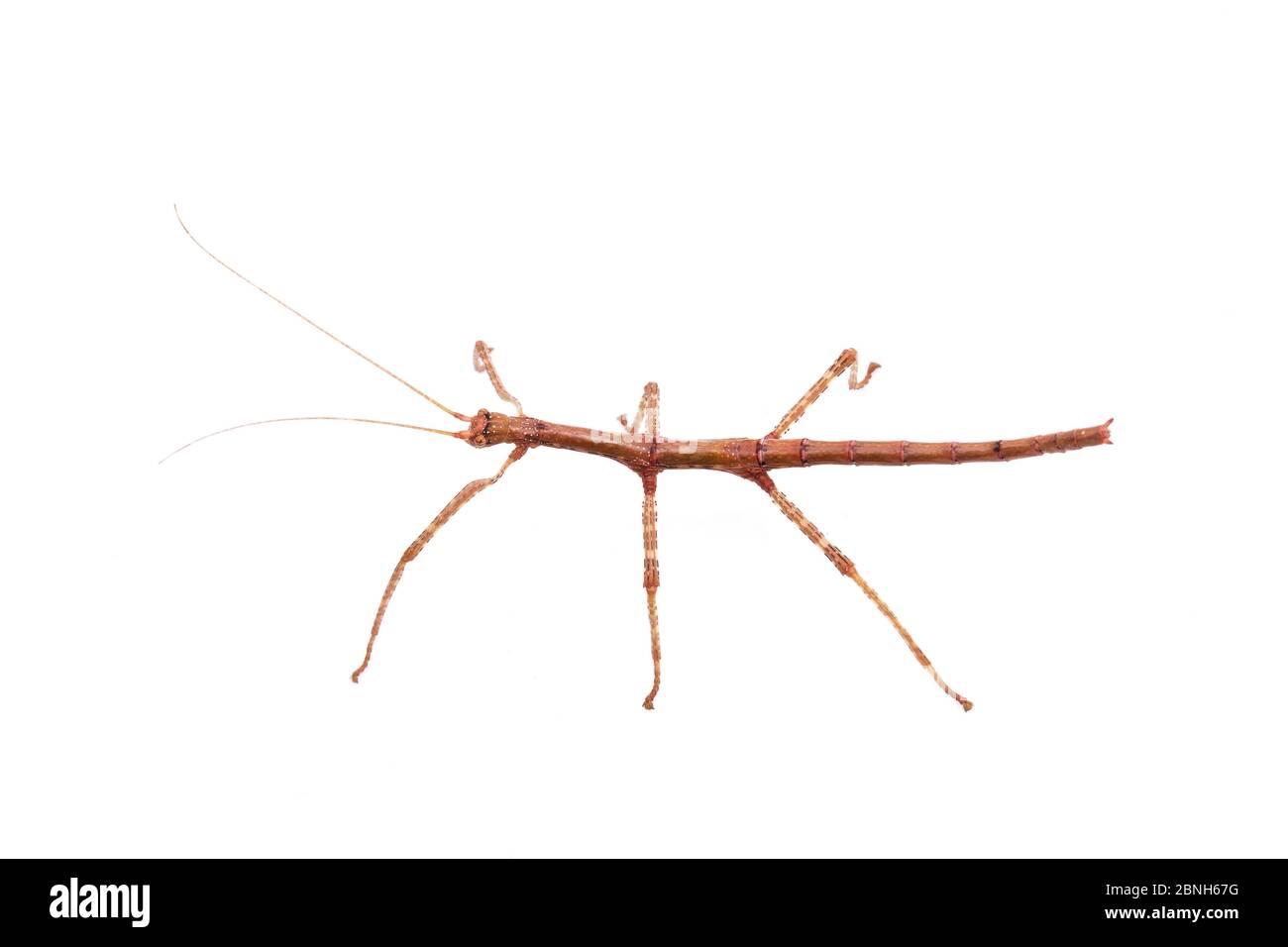 Giant walking stick (Megaphasma dentricus) nymph, captive laboratory animal. Stock Photo