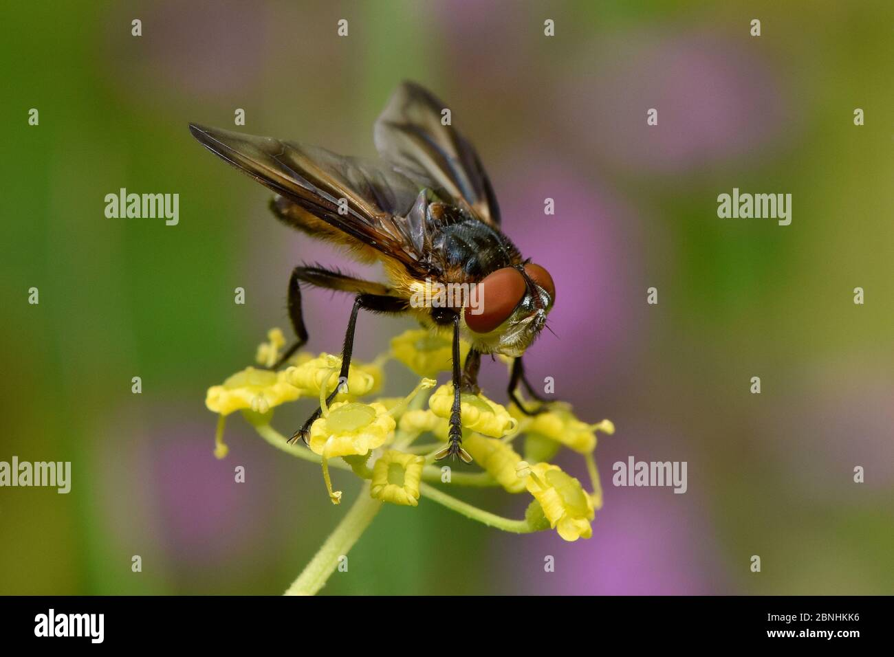 Tachnid fly (Phasia hemiptera) male feeding on flower of wild parsnip (Pastinaca sativa), Oxfordshire, England, UK, August Stock Photo