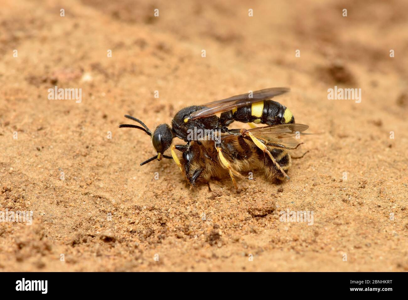 Digger wasp (Cerceris rybyensis) carrying paralysed Mining bee (Andrena flavipes) back to burrow where the victim will be eaten by the wasp larvae, Su Stock Photo