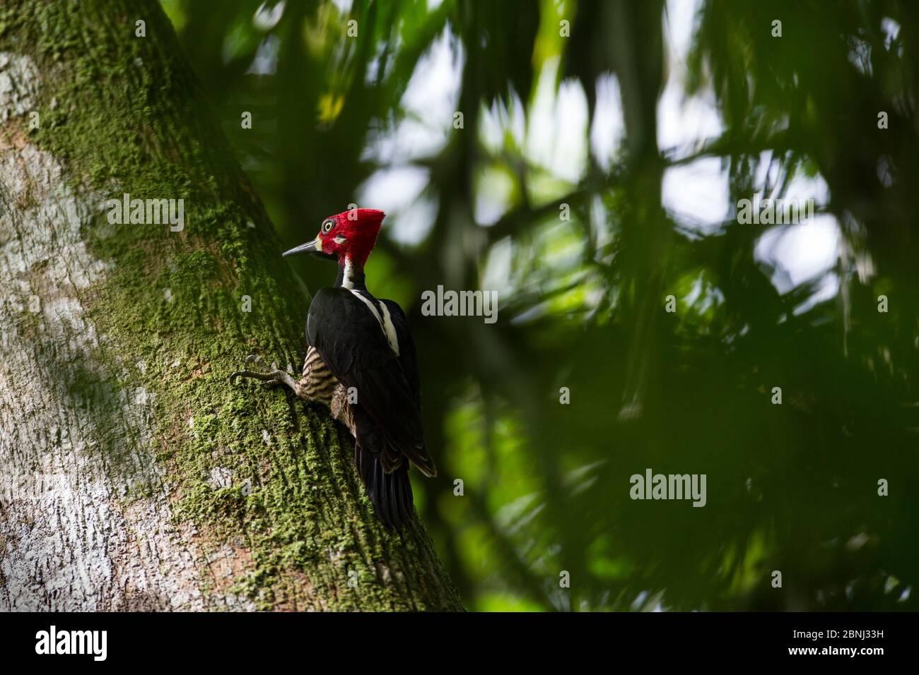 Crimson-crested woodpecker (Campephilus melanoleucos) on tree, tropical rainforest. Barro Colorado Island, Gatun Lake, Panama Canal, Panama. Stock Photo