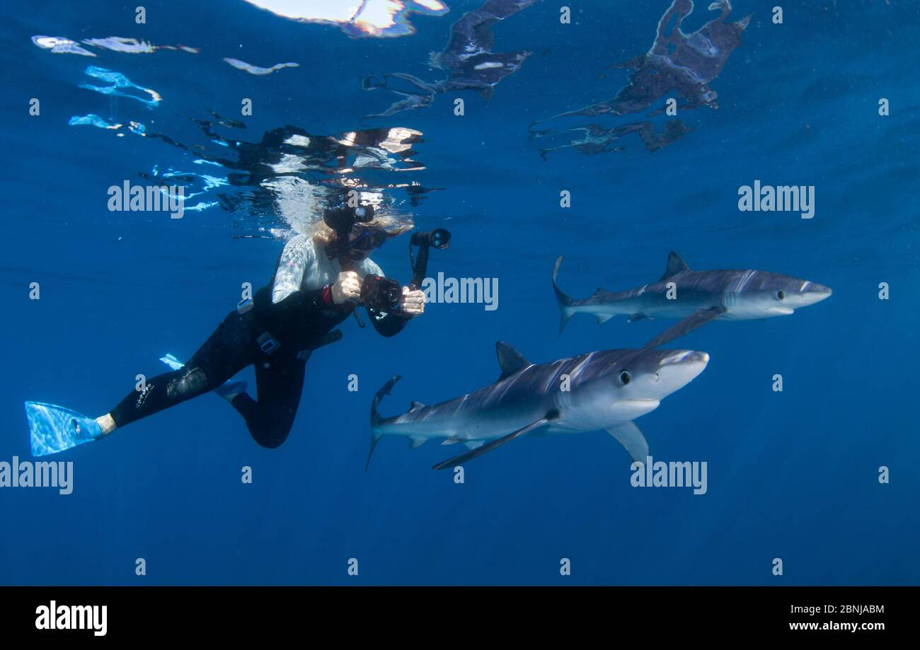 Blue shark (Prionace glauca), with diver, Cape Point, South Africa, February. Stock Photo
