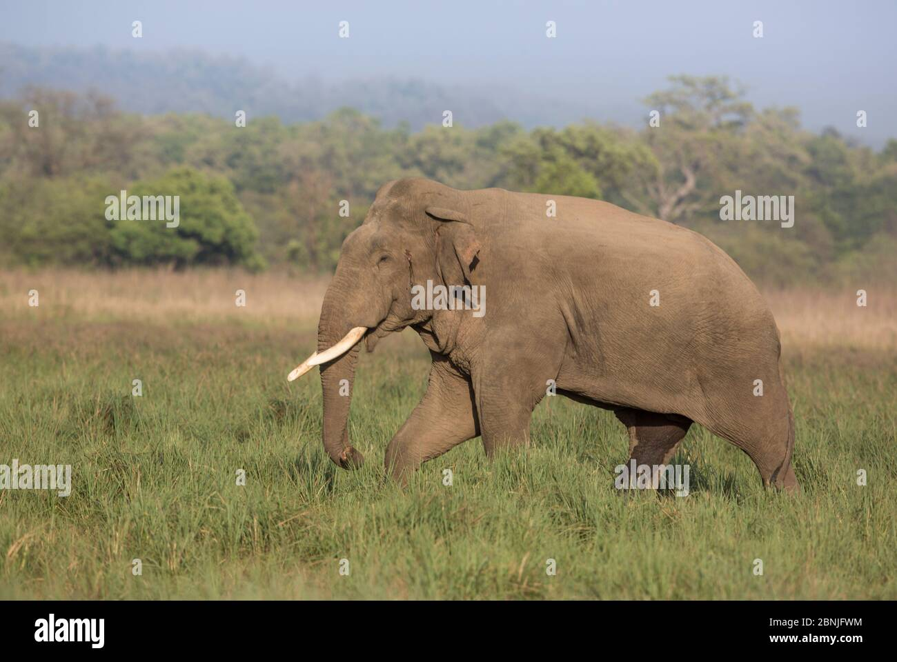 Asiatic elephant (Elephas maximus), male with musth secretion from temporal gland near ear visible. Jim Corbett National Park, India. Stock Photo