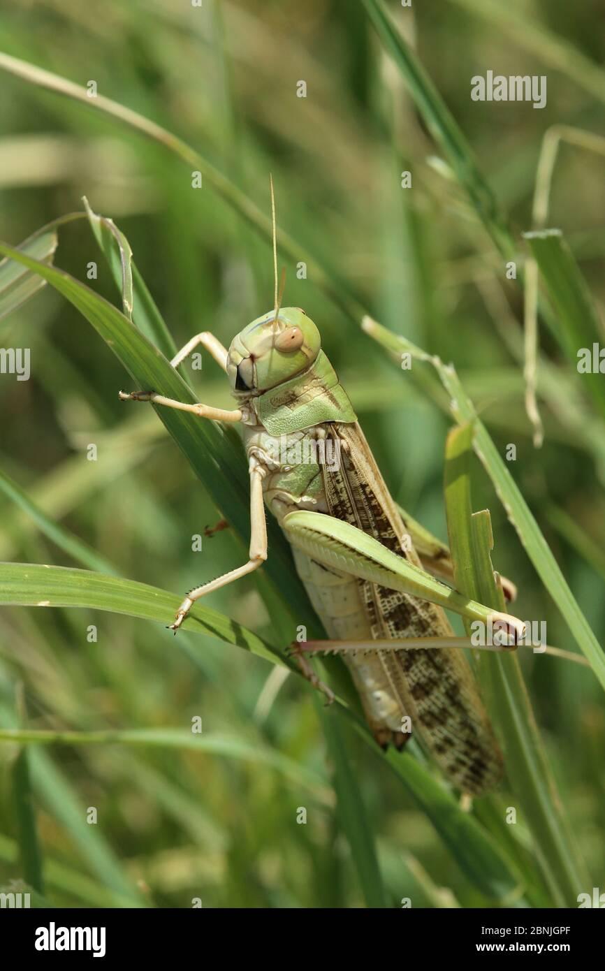 Desert locust (Schistocerca gregaria) on blade of grass, August, Oman Stock Photo