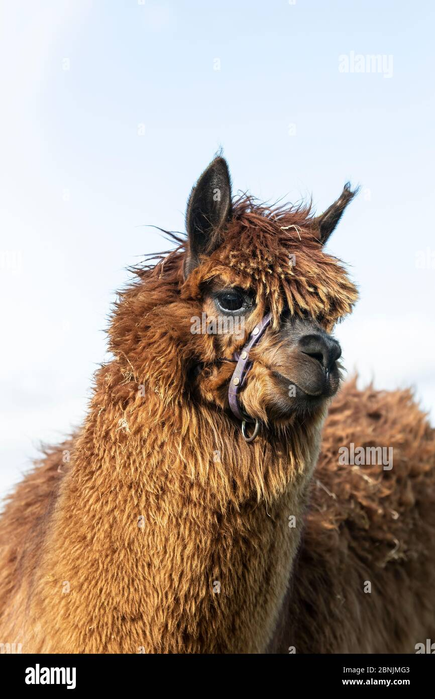 Close up head shot of a brown fleeced Alpaca Vicugna pacos on an upland hill farm in Huddersfield, West Yorkshire. Stock Photo